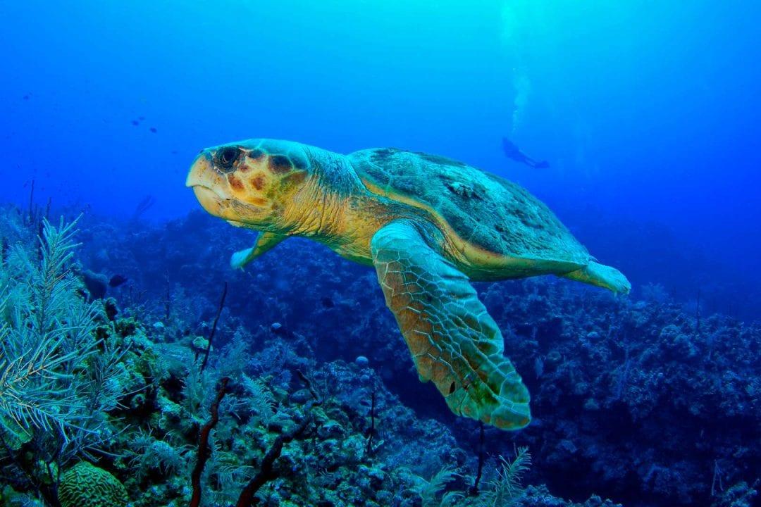 Turtles-Cayman-Islands